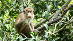 Monkey macaque sitting on tree in Sri Lanka Stock Footage