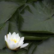 Waterlily Blossom Stock Photos
