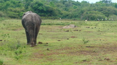 Wild indian elephant walking Stock Footage