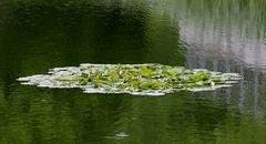 Waterlily And Reflections Stock Photos