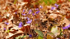 First spring flowers, shot with slider Stock Footage