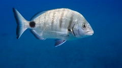 white sea bream Fuerteventura Spain - stock footage
