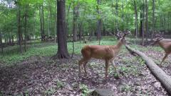 BUCK DEER 10 AND 8 POINT Stock Footage