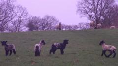 Lambs and Sheep in a field Stock Footage