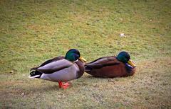 Two male Mallard Ducks in the park Stock Photos