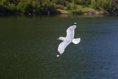 Seagull bird in Norway fjord Kuvituskuvat