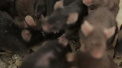 Stock Video Footage of Group of Mouses