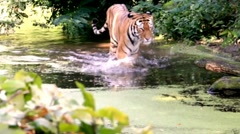Siberian tiger in the wild Stock Footage