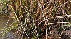 Water Vole ( Arvicola amphibius ) Stock Footage