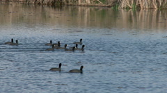 Coots, Birds, Waterfowl, Pond, Lake, 4K Stock Footage