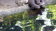 Stock Video Footage of Otters playing on the shore, dive and swim in the zoo