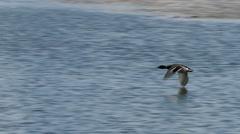 Duck In Flight Arkistovideo