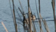 Canada Geese, Geese, Pond, Lake, Reeds Stock Footage