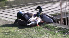A group of mallard drakes attack and mate female mallard Stock Footage