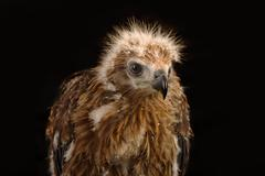 Young Brahminy Kite , Red-backed Sea-eagle Stock Photos