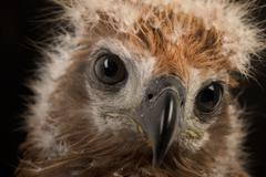 Young Brahminy Kite , Red-backed Sea-eagle Stock Photos