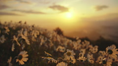 Flyover daisies blowing in the wind sunset sky and sun - stock footage