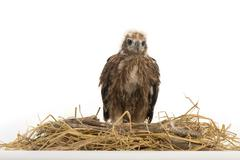 Young Brahminy Kite , Red-backed Sea-eagle in the nest Stock Photos