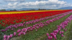 Tulip Field Static and Pan Stock Footage