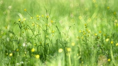 Selective Focus of Buttercups in the Field - stock footage