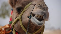 Ruminating camel,Pushkar,Rajasthan,India Stock Footage