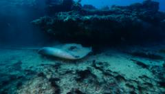 Sting ray Fuerteventura Spain Stock Footage