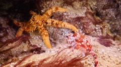 Scorpion fish Fuerteventura Spain with sea urchin Stock Footage