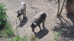 Black Pigs seen from above - stock footage