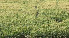 corn farm plants (zoom out) - stock footage