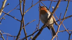 Red Robin Bird Singing In Tree Stock Footage