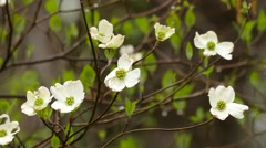 Southern Dogwood Tree in Bloom Stock Footage