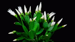 Timelapse of white Easter Cactus plant with flowers opening and closing on bl Stock Footage