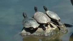 Three trutles take a sun bath on a stone Stock Footage