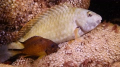 Stock Video Footage of parrot fish Fuerteventura Spain sleeping