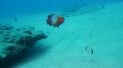 Mediteranian parrot fish Fuerteventura Spain 4K Stock Footage