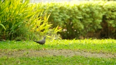 Spotted dove on the grass Stock Footage