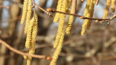 Hazel catkins in sunny spring day motion footage made with slider - stock footage