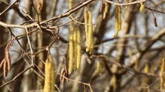 Hazel catkins in sunny spring day motion footage made with slider Stock Footage
