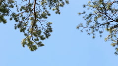 Pine trees top forest blue sky evergreen forest footage Stock Footage