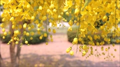 Golden shower, Cassia fistula Stock Footage