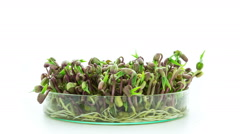 Mung beans sprouting timelapse Stock Footage