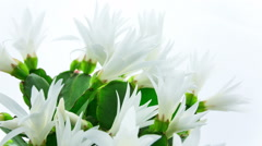 Timelapse of white Easter Cactus flowers opening and closing on white backgro Stock Footage