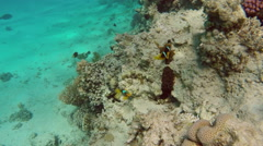 Clownfish shelters and anemone on a tropical coral reef Stock Footage