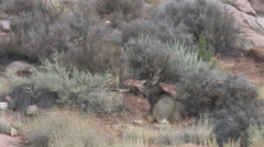 Courting Dominant Buck in Rut Bedded by Feeding Doe Stock Footage