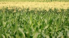 Corn farm plants Stock Footage