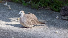 4k UHD video of Zebra Doves (Geopelia striata) relaxing on footpath Stock Footage