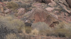Mule Deer Doe Stands Alert Looking for Danger Stock Footage