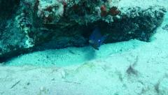 blue damselfish Fuerteventura Spain - stock footage