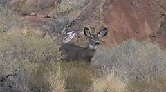 Closer View of Mule Deer Doe Looking for Danger Stock Footage