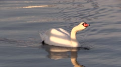 Swimming mute swan drinks water in sunset Stock Footage